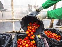 Ernten von Tomaten lizenzfreies stockbild