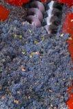 Ernten von Trauben Stockfoto