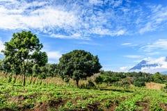 Ernten wachsen auf Abhang in den Hochländern von Guatemala Lizenzfreie Stockfotografie