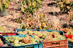 Erntend nähern sich weiße Trauben Laujar in Andalusien Stockbild