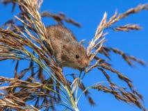 Erntende Maus (Micromys-minutus) schauend unten von Reed Plume Stockfotos