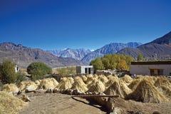 Erntende Zeit an Nubra-Tal, Ladakh, Indien Lizenzfreies Stockfoto