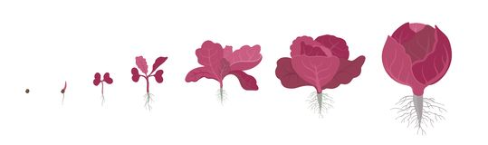 Erntestadien des Rotkohls Alias purpurroter Kohl, rotes kraut oder blaues kraut Purpurrot-leaved Vielzahl des Kohls stock abbildung