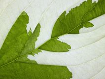 Eroded leaf detail Royalty Free Stock Image