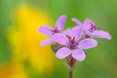Erodium cicutarium Royalty Free Stock Photo