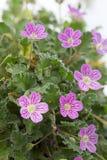 Erodium flower closeup Stock Image