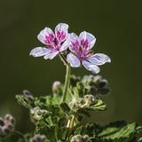 Erodium pelargoniiflorum 'Sweetheart' flowers Royalty Free Stock Image