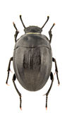Erodius audouini peyroleri Stock Photo