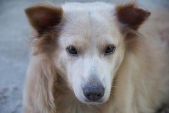 Eroe il cane dell'isola Immagini Stock