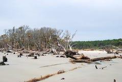 A erosão matou árvores na ilha da caça, SC EUA Foto de Stock Royalty Free