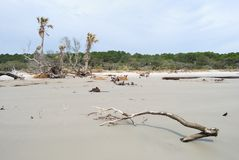 Erosion killed trees at Hunting Island, SC USA. Hunting Island in South Carolina USA is gradually being eroded.  As the ocean reaches growing trees, they die and Stock Image