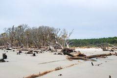 Erosion killed trees at Hunting Island, SC USA. Hunting Island in South Carolina USA is gradually being eroded.  As the ocean reaches growing trees, they die and Royalty Free Stock Photo