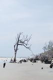 Erosion killed trees at Hunting Island, SC USA. Hunting Island in South Carolina USA is gradually being eroded.  As the ocean reaches growing trees, they die and Stock Photo
