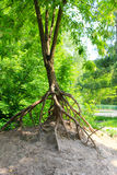 Erosion - tree with bare roots Stock Images