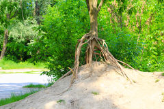 Erosion - tree with bare roots Stock Photography