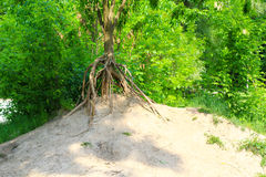 Erosion - tree with bare roots Royalty Free Stock Image