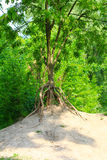 Erosion - tree with bare roots Royalty Free Stock Photos