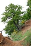 Erosione costiera sull'albero dell'estuario del fiume Immagine Stock