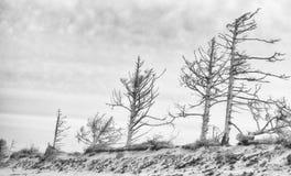 Erosione degli alberi sulla costa dell'Oregon Fotografia Stock Libera da Diritti