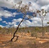 Erosione di terreno ambulante dell'albero da overgrazing Immagini Stock
