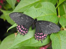 Erostaratus Swallowtail motyl Zdjęcie Royalty Free