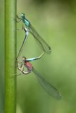 Erotic art. Two damselflies mating elegantly, against green background Stock Image