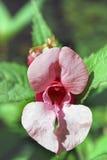 Erotische roze bloem Stock Fotografie
