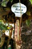 Erotische vorm van Nepenthes-alata, Ischia, Italië Stock Afbeelding