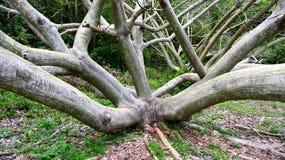 Erotiskt träd 2 arkivfoto