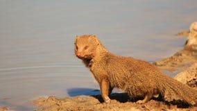 Erpeste, snello - mammifero africano Fotografie Stock Libere da Diritti