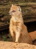 Erpeste snello, zoo di Praga Fotografia Stock Libera da Diritti