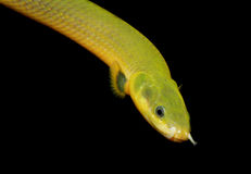 Erpetoichthys calabaricus Royalty Free Stock Image