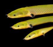 Erpetoichthyscalabaricus Royalty-vrije Stock Foto's