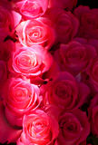 Errötende rote Rosen Stockfotografie