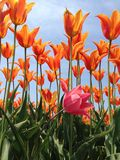Errant pink amidst the orange. Baby pink tulip grows out of the rows of orange tulips stock photography