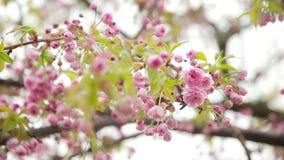 Erreichen Sie herauf Ansicht der rosa Blumen des Obstbaumes einen Tiefstand stock video