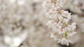 Erreichen Sie herauf Ansicht der weißen Blumen des Obstbaumes einen Tiefstand stock video footage