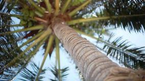 Erreichen Sie herauf Ansicht einer schönen Palme mit Kokosnüssen auf blauem sonnigem Himmel auf dem Hintergrund einen Tiefstand Ä stock video