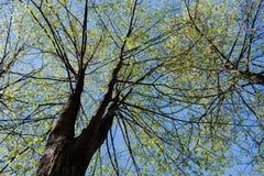 Erreichen Sie herauf Ansicht zu den Baumkronen von Frühlingslinden auf Hintergrund des blauen Himmels einen Tiefstand Stockfoto