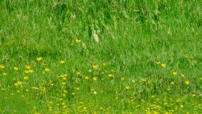 Erreichen Sie herauf Trieb der Wiese des grünen Grases mit gelben Löwenzahnblumen einen Tiefstand Viele mehr Ökologiebilder in me stock video