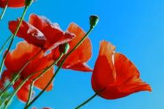 Erreichen Sie Mohnblumenknospen auf dem Hintergrund des blauen Himmels Stockfotografie