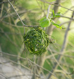Errichtendes neues Nest auf dem Baum Weaver Bird Berühmter Kanonkop Weinberg nahe malerischen Bergen am Frühling Lizenzfreies Stockbild
