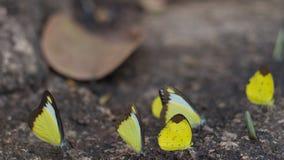 Erro amarelo da borboleta na cachoeira Foto de Stock