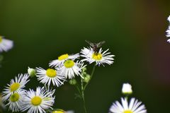 Erro bonito na flor selvagem branca fotos de stock