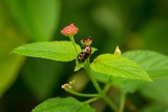 Erro colorido do besouro no Lantana Camara Flower Buds fotografia de stock royalty free