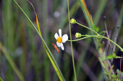 Erro de assassino do Milkweed em uma flor Fotografia de Stock