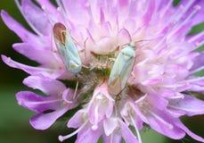 Erro de dois brancos em uma flor. Imagem de Stock Royalty Free