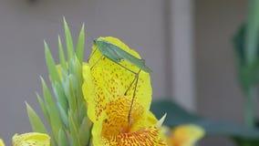 Erro de folha de Katydid AKA que come em uma flor amarela de Canna vídeos de arquivo