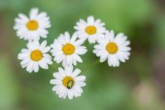 Erro em uma flor Fotos de Stock Royalty Free