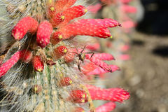 Erro no cacto com flores cor-de-rosa fora Fotografia de Stock